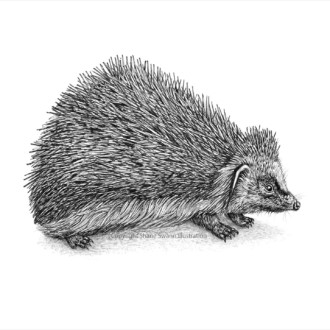 The British Hedgehog (On the brink of extinction)